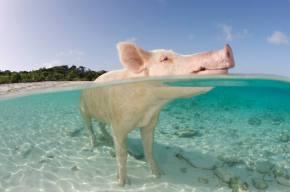 Pig Beach: La playa con cerdos nadadores existe y está en lasBahamas