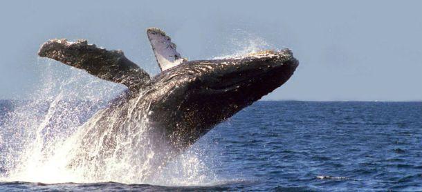 avistamiento-ballena-gris-ensenada