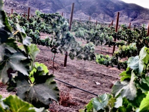 vinedos-valle-guadalupe-baja-california-vino
